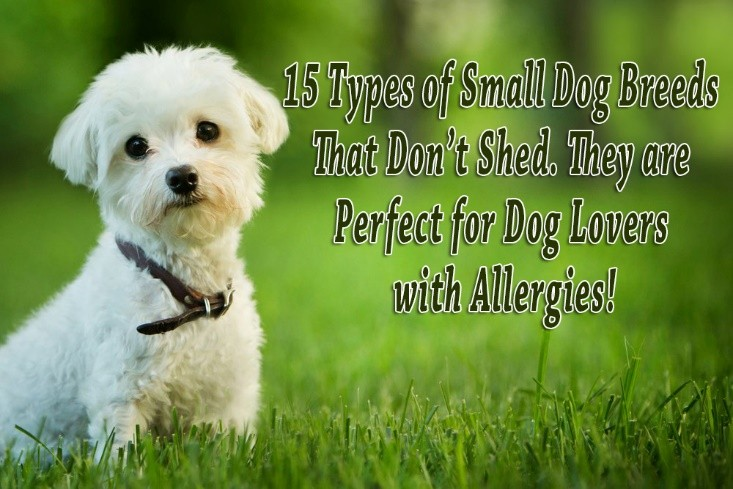 15 Types of Small Dog Breeds That Don't Shed. They are Perfect for Dog Lovers with Allergies!