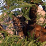 10 Helpful Things To Know When You Encounter Bobcat Kittens